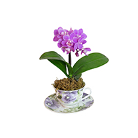 GH Mini Teacup Orchid #2028T Viviano