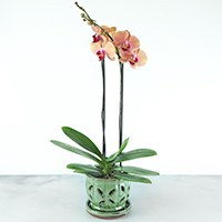 GH Orchid Plant #2030  Viviano Flower Shop tropical blooming phalaenopsis in decorative ceramic pot