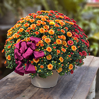 GH Fall Hardy Mum Plant #2042 Viviano Flower Shop autumn greenhouse gift for home  and garden