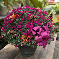 GH Fall Hardy Mum Plant #2042 Viviano autumn greenhouse gift for home  and garden