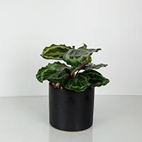GH Calathea Medallion Plant #210604 Viviano
