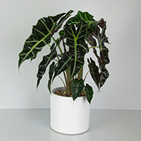 GH Alocasia Polly Plant  #21080  Viviano