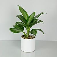 GH Aglaonema Plant #21120 Viviano