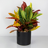 GH Croton Plant  #21200 Viviano