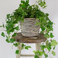 GH Ivy Plant #21320 Viviano