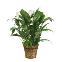 GH Spathiphyllum Plant #2142 Viviano tropical greenhouse gift, also known as  Peace Lily