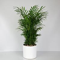 GH Neanthe Bella Palm #21460 Viviano
