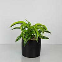 GH Warneckii Plant #21580 Viviano