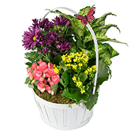 GH Blooming Basket #29817 Viviano Flower Shop greenhouse gift of green and flowering houseplants