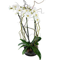 GH Unforgettable #31517 Viviano Flower Shop double orchid garden gift