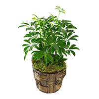 Refresh #56017 Viviano  Viviano Flower Shop greenhouse gift of an assorted plant in a  basket