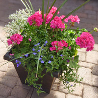 GH Patio Planter #44307 Viviano Flower Shop greenhouse gift of various blooming and accent plants for outdoor home decor