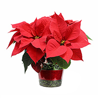 Poinsettia small single #44B Viviano Christmas holiday greenhouse gift