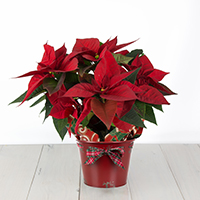 Poinsettia 6.5in pot single stem #44D Viviano  Christmas holiday greenhouse gift