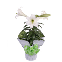 GH Easter Lily Plant #45  Viviano