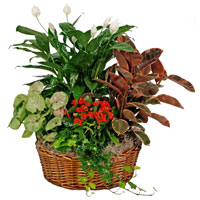 GH European Garden #851 Viviano greenhouse gift basket of green and blooming  plants