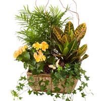 GH Basket Garden #DGB  Viviano Flower Shop greenhouse gift of blooming and green plants in a basket